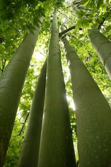 Высокие стволы бамбука