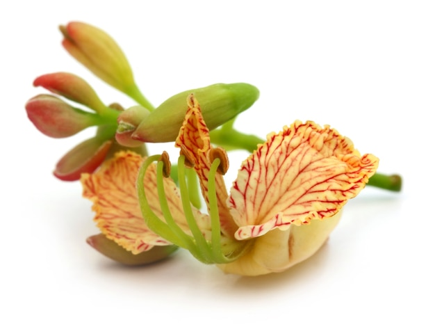 Tamarind flower close up over white background