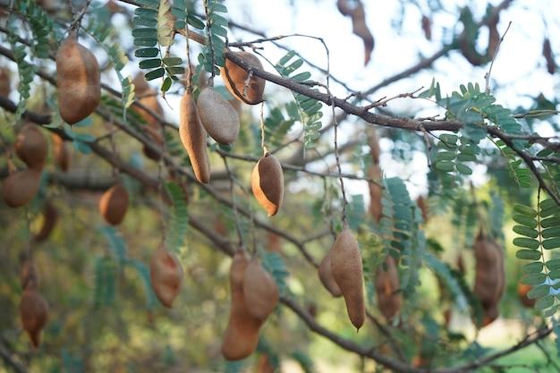 タマリンドの木にぶら下がっているタマリンドの果実