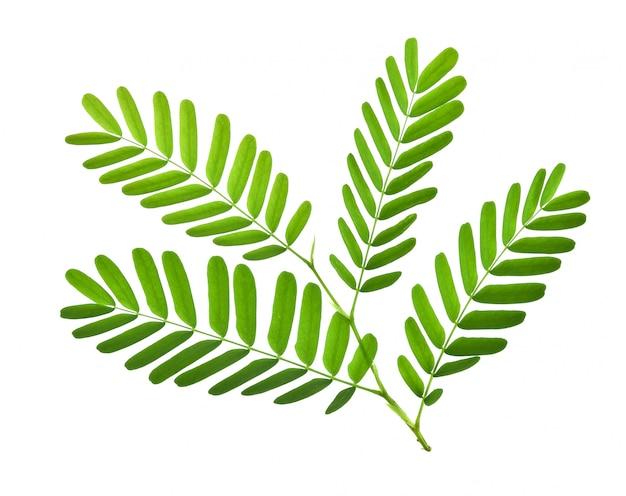 タマリンドの葉の白い背景で隔離