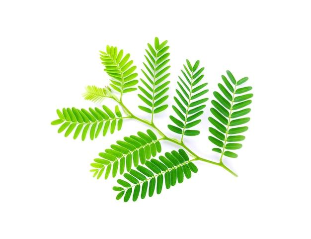 Tamarind leaves isolated on white background