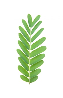 Tamarind leaves isolated on white with clipping path