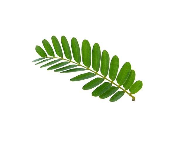 タマリンドの葉は白