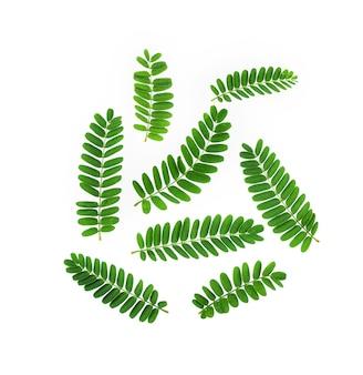 Листья тамаринда на белом