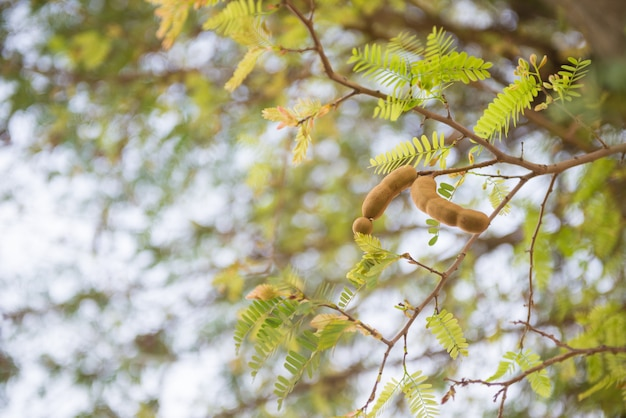 Tamarind on the tree