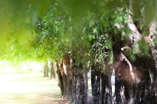 Tamarind trees in raws. selective focus.