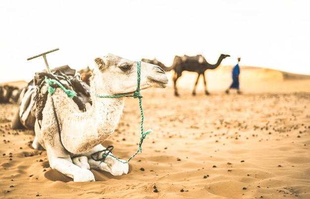 Tamed dromedary resting after ride excursion in merzouga desert in morocco