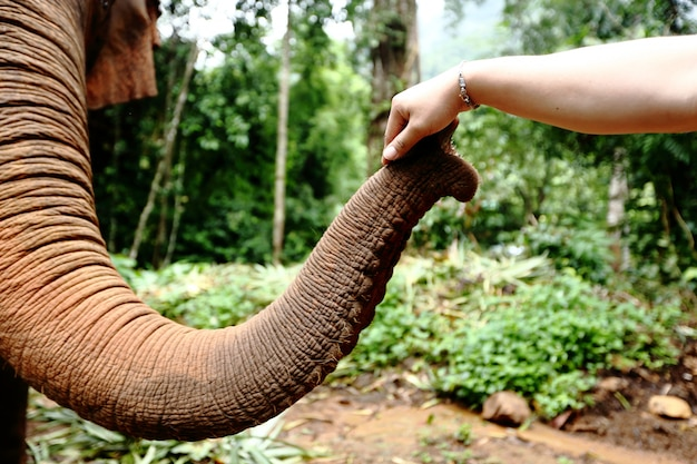 Tamed elephant in jungle deep forest for tourism with people hand touch