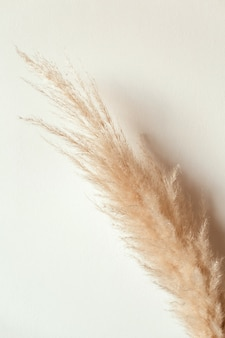 Tan pampas grass branch on white background. reeds foliage