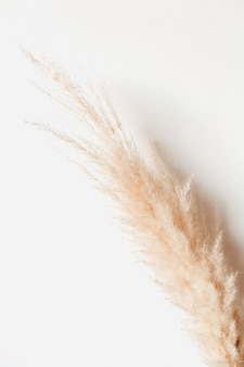 Tan pampas grass branch on white surface