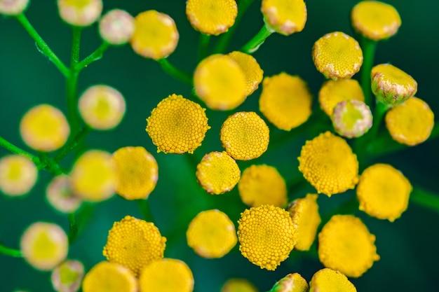 Tanacetum vulgare blossom plant