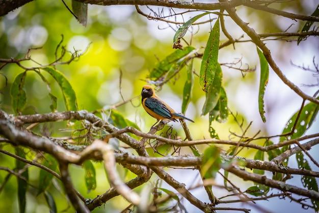 Танагер из полированного баффа (tangara cayana) птица ака сайра амарела, стоящая на дереве в сельской местности бразилии