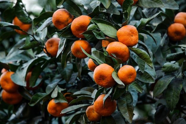 Мандариновые плоды на сочных зеленых листьях дерева. зачатие весны, новой жизни в природе.