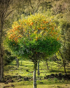 Мандариновое дерево в грамаду, штат риу-гранди-ду-сул, бразилия, 10 августа 2008 года.