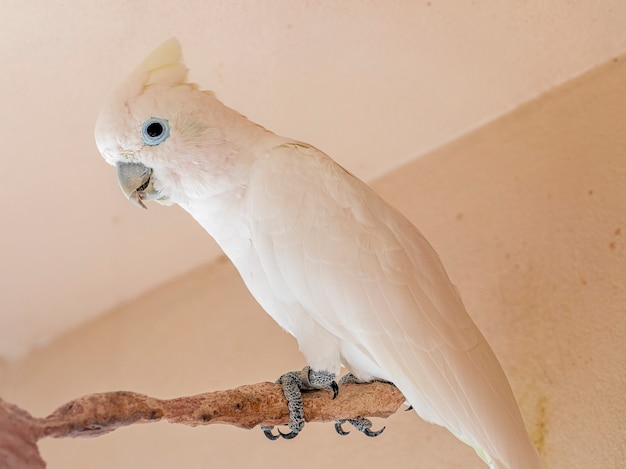 The tanimbar corella (cacatua goffiniana) also known as goffin's cockatoo or the blushing cockatoo, is a species of cockatoo endemic to forests of yamdena.