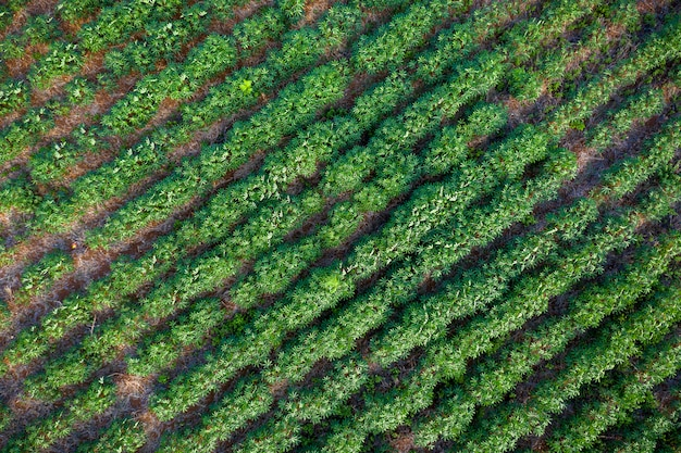 Tapioca farm in agricultural area in thailand aerial view
