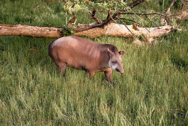 Tapir, tapirus terrestris는 자연 환경에서 오후 태양을 즐기고 있습니다.