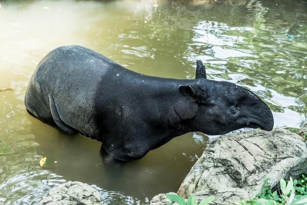 Tapir in the zoo