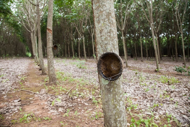 Tapping sap from the rubber tree in thailand.