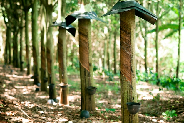 Tapping sap from the rubber tree