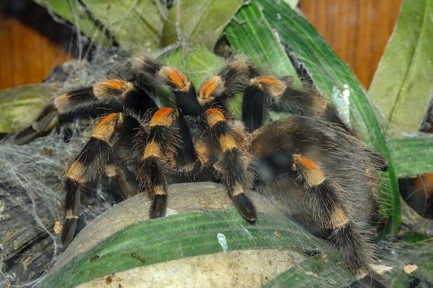 Tarantulaクモ、brachypelma boehmeiを閉じる