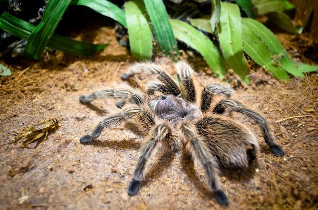 타란툴라 이국적인 애완 동물, 큰 거미는 정글의 땅에서 먹이 귀뚜라미 또는 곤충, 야생 동물 또는 자연의 파충류를 잡기 위해 기다리는 함정을 만들기 위해 웹을 만듭니다.