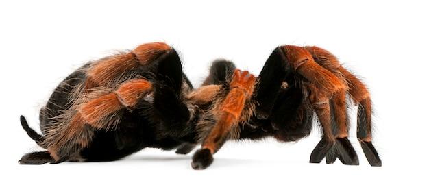 Тарантул паук, brachypelma boehmei, на белом фоне