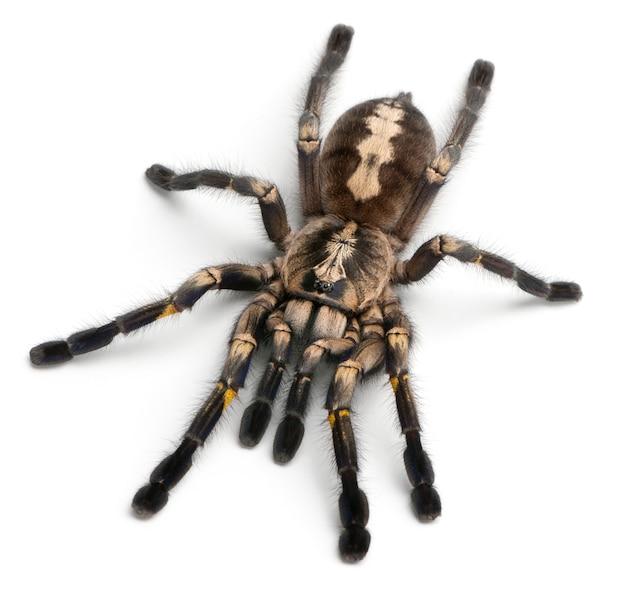 Паук тарантул, poecilotheria metallica, на белом фоне