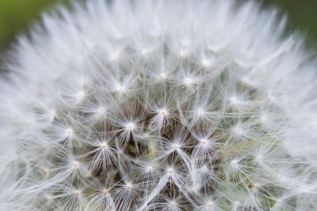 ふわふわのブローボール。緑の背景にタンポポの種子の頭。 taraxacum erythrospermum。自然のマクロ写真。