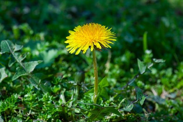 봄에 푸른 잔디로 둘러싸인 타락사쿰 꽃