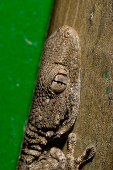 隠れたトカゲ(tarentola mauritanica)