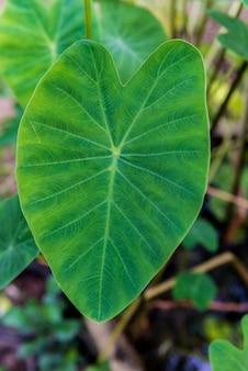 Taro elephant ear leaves