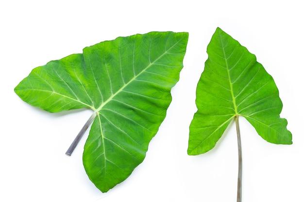 Taro leaves on white background.