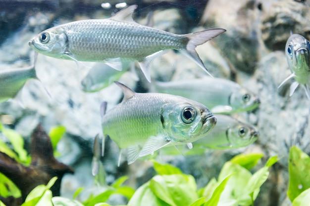 Tarpon indo-pacific or megalops cyprinoides fish