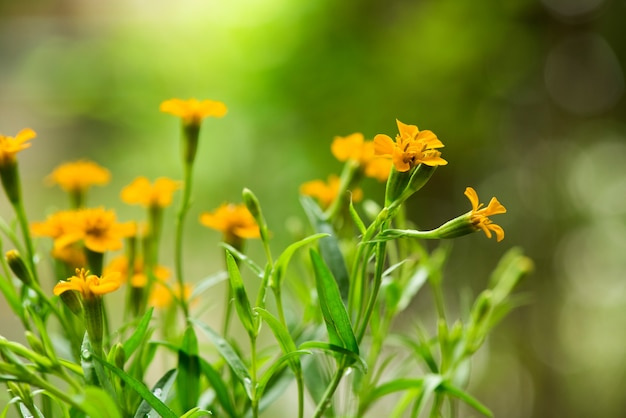 Tarragon or artemisia dracunculus flowers on nature background.