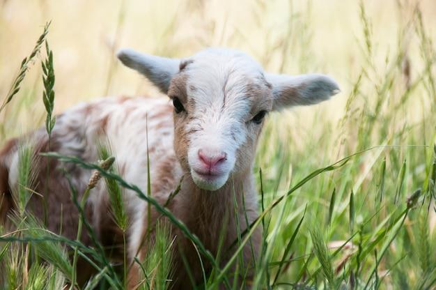 Tarsconnaise крест камерун овцы ягненка