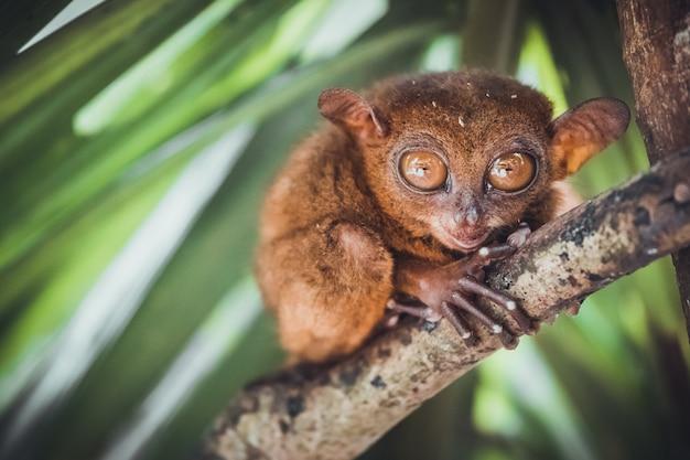 Tarsier в бохоле tarsier святилище, филиппины