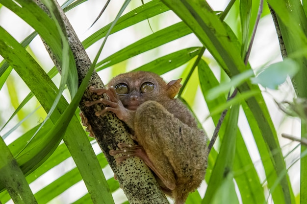 Tarsier monkey the world's smallest