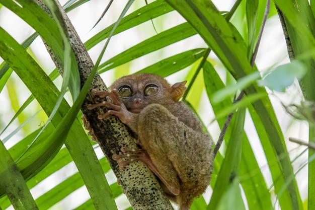 Tarsier обезьяна самая маленькая в мире