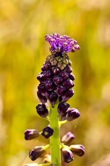Tassel grape hyacinth (muscari comosum)