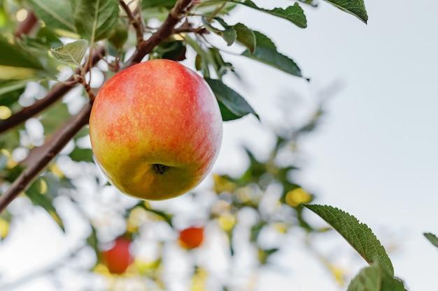 庭で秋の収穫を収穫する果樹園のリンゴの木の枝においしい赤いリンゴ