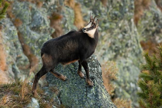 Татранская серна, восхождение на скалы в горах в осенней природе