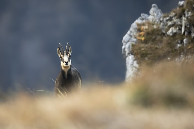 Татранская серна смотрит из-за сухой травы осенью