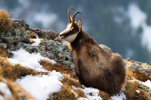 冬の山に横たわるタトラシャモア