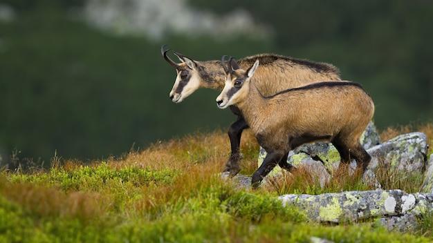 Tatra chamois walking on rocky slope