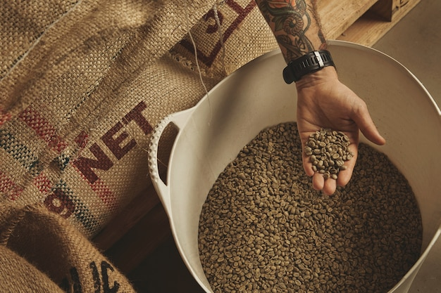Tattooed barista hand holds raw green coffee beans from white plastic basket, above cotton bags on europalet in warehouse.