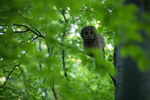 Tawny owl sitting on branch in forest in summer.