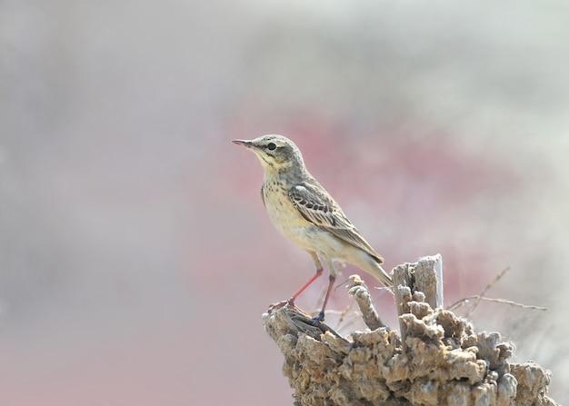 ムジタヒバリのクローズアップは、塩性湿地の真ん中にある小さな木製の支柱に座っています