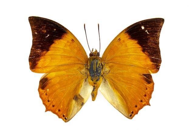 Бабочка тони раджа на белом фоне