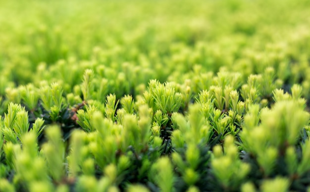 Taxus baccata bush in the garden. selective focus. green yaw tree